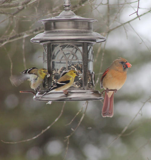 Cardinal bird seed feeder