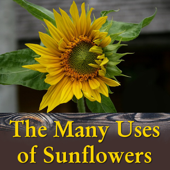 what is the sunflower used for
