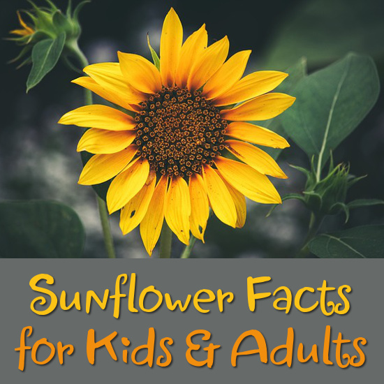 facts on the sunflower flower for kids and adults to learn, discover and enjoy