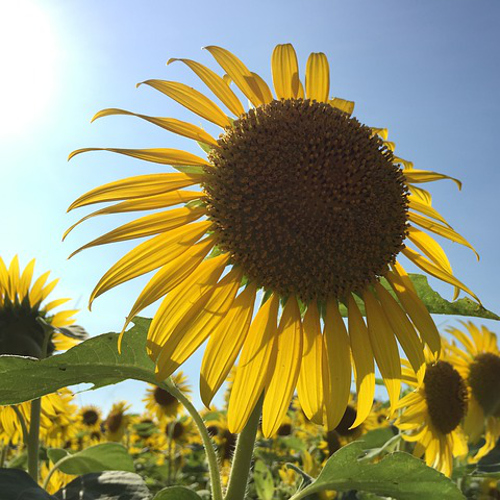 what is the meaning of a sunflower symbolism, spiritual and myths, Natural flower
