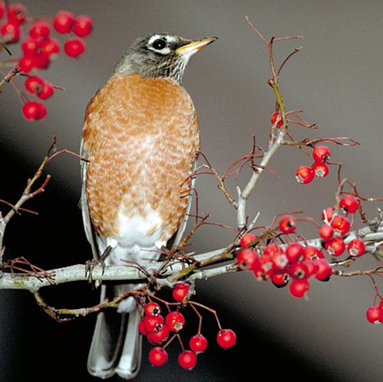 American Robin bird perched on a tree branch with red berries
