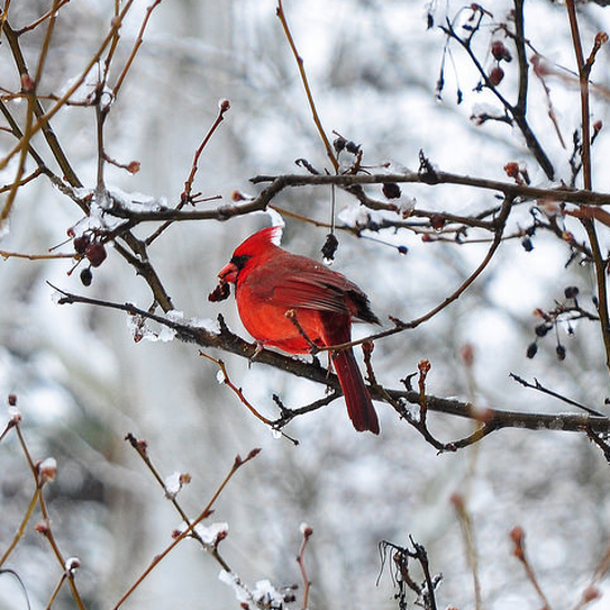 male Cardinal bird tree branches twigs winter scene cold