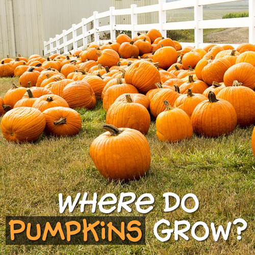 Pumpkin facts for kids and adults: where do pumpkins grow growing