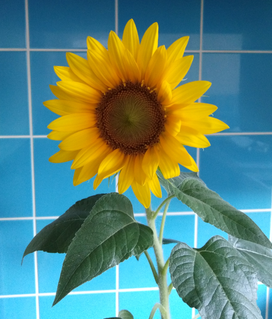 Bright yellow sunflower head and green leaves against a blue background dwarf plant variety