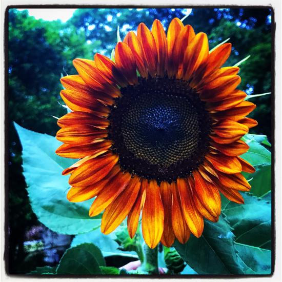 Majestic sunflower head bloom sun flower plant blue sky summer meaning of sunflowers