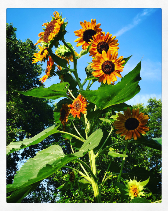 Tall Sunflower Plant Heads Stalk leaves Blue Sky meaning of sunflowers flowers